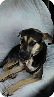 German Shepherd Dog/Australian Cattle Dog Mix Dog for adoption in Sweetwater, Tennessee - Roxy