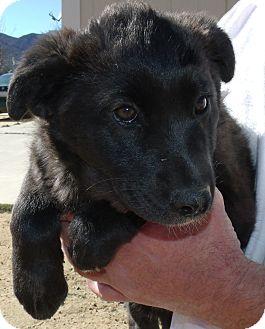 German Shepherd Dog/Husky Mix Puppy for adoption in Corona, California - SUKI