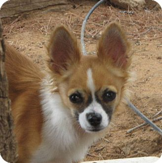 Chihuahua Dog for adoption in Las Cruces, New Mexico - Annabelle