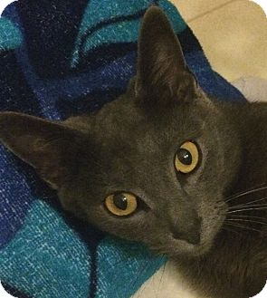 Russian Blue Cat for adoption in Winchester, California - Hether