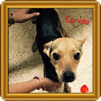 Chihuahua/Miniature Pinscher Mix Dog for adoption in Brick, New Jersey - Canela aka Penny