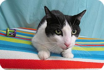 Domestic Shorthair Cat for adoption in Waldorf, Maryland - Oreo