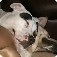 Adopt A Pet :: Sweet Pea - Lebanon, CT