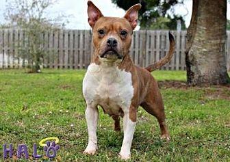 Pit Bull Terrier Dog for adoption in Sebastian, Florida - Josie