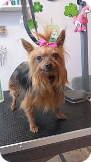 Yorkie, Yorkshire Terrier Dog for adoption in Rathdrum, Idaho - Izzy