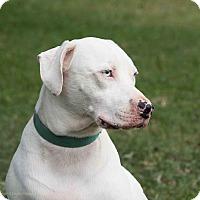 Dalmatian Mix Dog for adoption in Sarasota, Florida - Palmer