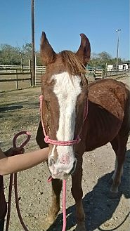 Quarterhorse Mix for adoption in Hitchcock, Texas - Dane