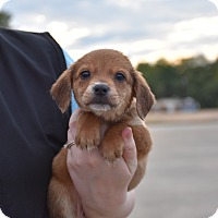 Adopt A Pet :: Val - South Dennis, MA