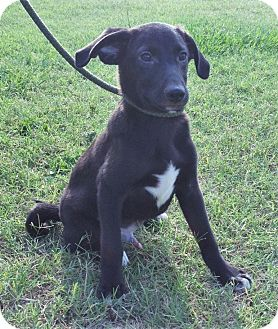 Collie/Labrador Retriever Mix Puppy for adoption in Saratoga Springs, New York - Earnie ~ ADOPTED!