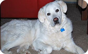 Great Pyrenees Dog for adoption in Lee, Massachusetts - Annie - in NY