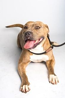 American Staffordshire Terrier Mix Dog for adoption in Santa Paula, California - Rox