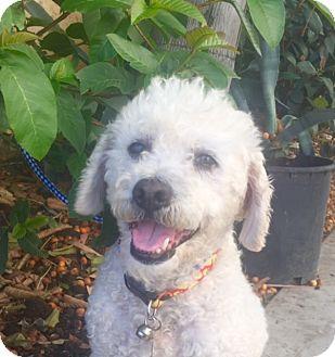Poodle (Standard) Mix Dog for adoption in Santa Monica, California - NOLAN
