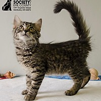 Domestic Mediumhair Kitten for adoption in Sandusky, Ohio - JAY