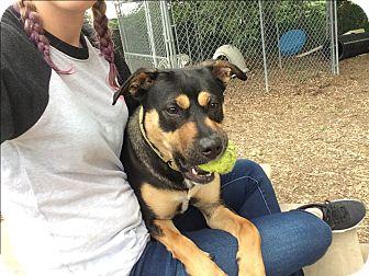 Rottweiler/German Shepherd Dog Mix Dog for adoption in Goshen, New York - Chloe