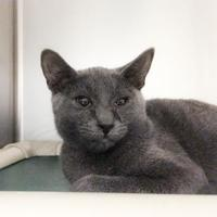 Domestic Shorthair/Domestic Shorthair Mix Cat for adoption in Wantagh, New York - Pickles