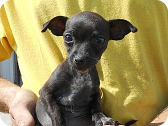 Chihuahua Mix Puppy for adoption in Duncan, Oklahoma - DEAN