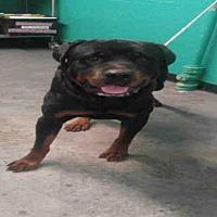 Adopt A Pet :: A623142 - Louisville, KY