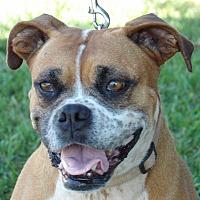 Adopt A Pet :: Bella (55 lb) GREAT Family Pet - Williamsport, MD