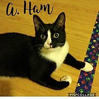 Adopt A Pet :: Alexander Hamilcat - Columbus, OH