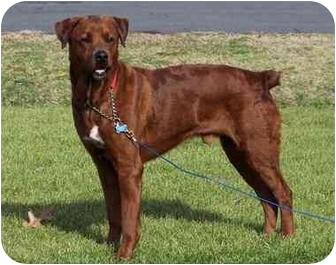Rottweiler/Labrador Retriever Mix Dog for adoption in Smithfield, Virginia - Gunther
