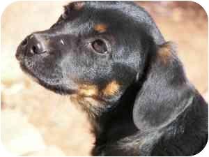 Manchester Terrier/Beagle Mix Puppy for adoption in Ferryville, Wisconsin - maxamillion