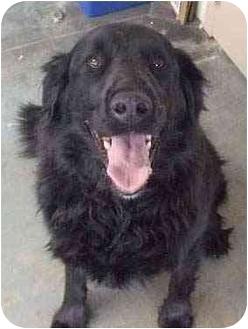 Golden Retriever/Labrador Retriever Mix Dog for adoption in Evergreen, Colorado - Kodiak