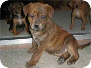 American Staffordshire Terrier/Boxer Mix Puppy for adoption in Franklin, Virginia - Mia