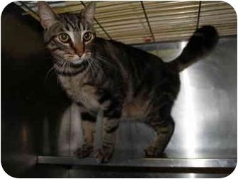 Domestic Shorthair Cat for adoption in El Cajon, California - Skeeter