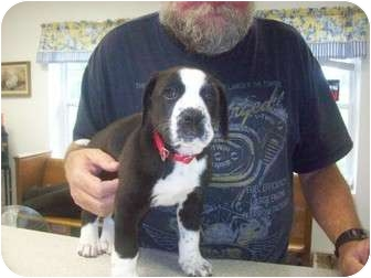 Boxer/Labrador Retriever Mix Puppy for adoption in Bel Air, Maryland - King
