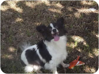 Papillon Dog for adoption in Chiefland, Florida - Flutter