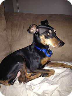 Miniature Pinscher Mix Dog for adoption in Crown Point, Indiana - Lissy