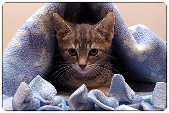 Domestic Shorthair Kitten for adoption in Sterling Heights, Michigan - Calvin - ADOPTED!