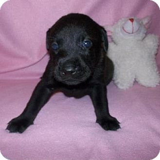 Labrador Retriever Mix Puppy for adoption in Shirley, New York - Ebony