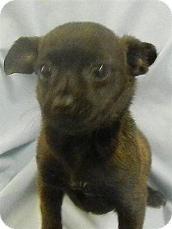 Chihuahua Mix Puppy for adoption in Dublin, Georgia - Peppi