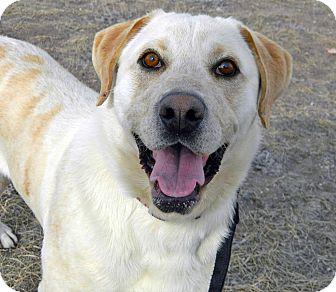 Labrador Retriever Mix Dog for adoption in Cheyenne, Wyoming - Ranger