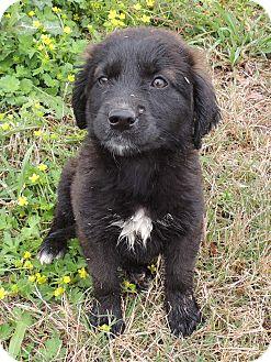 Catahoula Leopard Dog/Labrador Retriever Mix Puppy for adoption in Hammond, Louisiana - Blackberry
