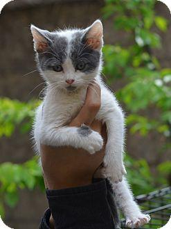 American Shorthair Kitten for adoption in Brooklyn, New York - Bonnie Brown