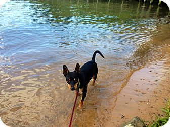Miniature Pinscher Dog for adoption in Bluff city, Tennessee - Bogart-Read note from Foster!