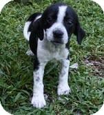 Beagle/Spaniel (Unknown Type) Mix Dog for adoption in Allentown, Pennsylvania - Dottie