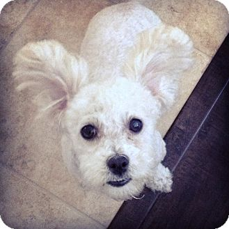 Poodle (Miniature)/Bichon Frise Mix Dog for adoption in Bellflower, California - Chloe - I do not shed!
