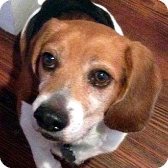 Beagle Dog for adoption in Houston, Texas - Bozley