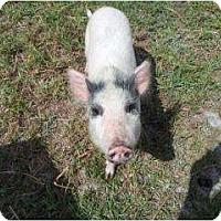 Adopt A Pet :: Claire - Palm City, FL