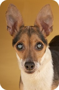 Rat Terrier Dog for adoption in Chicago, Illinois - Lola