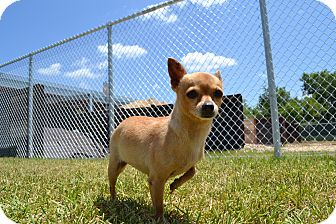 Chihuahua Mix Dog for adoption in Humble, Texas - Zoey