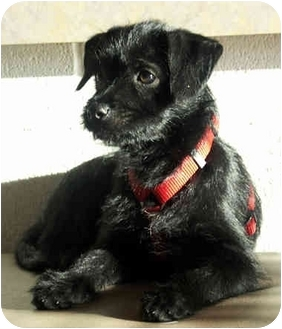 Border Terrier/Terrier (Unknown Type, Small) Mix Puppy for adoption in Marina del Rey, California - Angie [PENDING]