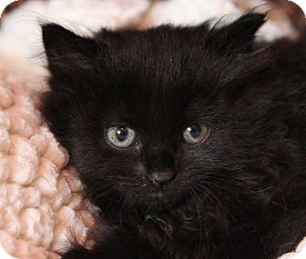 Domestic Longhair Kitten for adoption in Brimfield, Massachusetts - Tickles