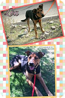 German Shepherd Dog/Rottweiler Mix Dog for adoption in Apache Junction, Arizona - Lea
