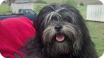 Shih Tzu Mix Puppy for adoption in Allentown, Pennsylvania - Lucy