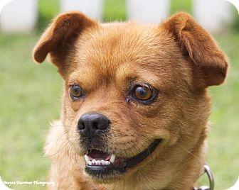 Pug Mix Dog for adoption in Huntsville, Alabama - Louisa