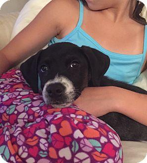 Labrador Retriever/Pointer Mix Puppy for adoption in Greenfield, Wisconsin - Archie